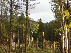 Trees Snapped by Flagstaff Tornado